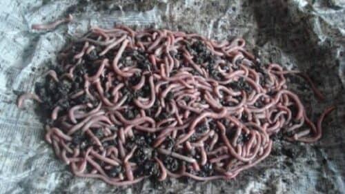На первоначальном этапе ферма по разведению червей не требует больших вложений