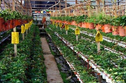 На снимке еще один вариант выращивания клубнике в теплице круглый год