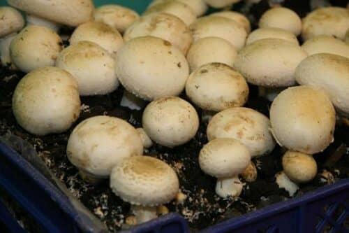 Для выращивания шампиньонов необходимо соблюдать определенные условия