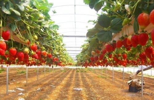 На фото клубничные плантации для бизнеса